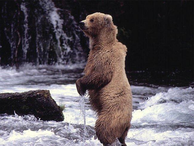 Bildergebnis für Grizzlybär